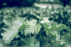 Closeup of plants. Closeup of grape plant with a green dark tone stock images