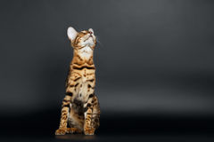Closeup Playful Female Bengal Cat Looking up Royalty Free Stock Photos