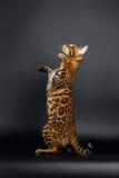 Closeup Playful Female Bengal Cat Looking up Royalty Free Stock Image