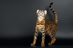 Closeup Playful Female Bengal Cat Looking up Stock Image