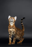Closeup Playful Female Bengal Cat Looking up Royalty Free Stock Images