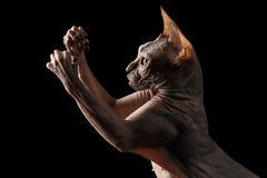 Closeup Playful Sphynx Cat Hunting Raising paws Isolated on Black Royalty Free Stock Image