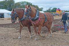 Closeup of plowing with horses. Closeup of plowing stubble fields with two horses at Daviot Estate, Inverness on 27th September 2014 at the Working Vintage Rally Stock Photo