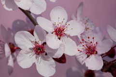 Closeup plum tree blossoms Stock Photo