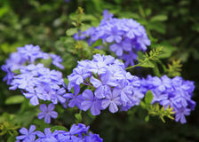 Closeup of a Plumbago.  Royalty Free Stock Image