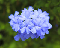 Closeup of a Plumbago. Closeup of a purple Plumbago Royalty Free Stock Photos