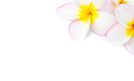 Closeup Plumeria, Frangipanni pink and white color on white back Stock Photos