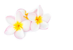 Closeup Plumeria, Frangipanni pink and white color on white back Royalty Free Stock Photo