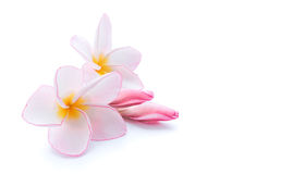 Closeup Plumeria, Frangipanni pink and white color on white back Royalty Free Stock Photography