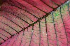 Closeup of Poinsettia leaf Stock Photos