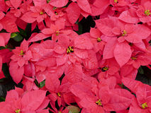 Closeup of Poinsettia leaves Royalty Free Stock Photos