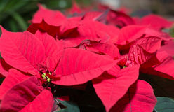 Closeup of a Poinsettia Royalty Free Stock Image