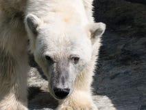 Closeup of a polar bear head with white fur royalty free stock photos