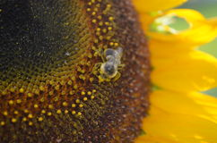 Closeup of pollen covered bee on yellow sunflower Stock Images