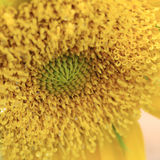 Closeup pollen of sunflower Royalty Free Stock Photo