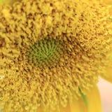 Closeup pollen of sunflower Royalty Free Stock Photo
