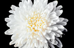Closeup a pollen of white chrysanthemum black isolated backgroun Stock Image