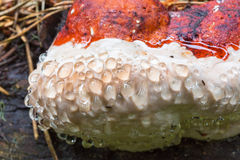 Closeup on a Polypore mushroom Royalty Free Stock Photo