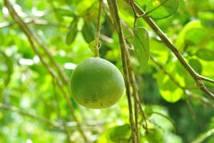 Closeup of Pomelo fruit on tree in garden Royalty Free Stock Photo