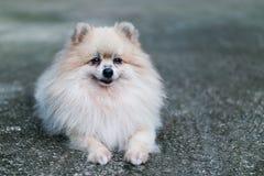 Closeup of Pomeranian stock photos