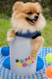 Closeup of a Pomeranian dog in bin on grass Royalty Free Stock Image
