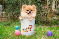 Closeup of a Pomeranian dog in bin on grass Stock Images