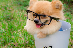 Closeup of a Pomeranian dog in bin on grass Stock Image