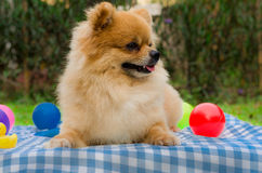 Closeup of a Pomeranian dog sitting on grass Stock Photo