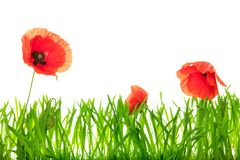 Closeup Poppies and green grass blades in front of white. Copyspace Stock Photo
