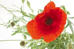 Closeup of poppy Stock Image