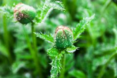 Closeup of the poppy buds with drops of dew Stock Photography