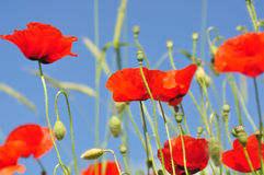 Closeup of a poppy in a field. Over a blue sky Royalty Free Stock Photography