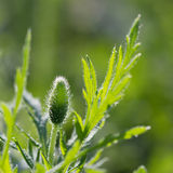 Closeup poppy flower bud with dew drops Stock Image