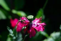 Closeup of poppy flower on dark green background royalty free stock photos