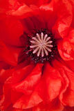 Closeup of poppy flower Royalty Free Stock Photos