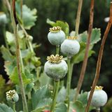 Poppy seed pods closeup in a garden stock images