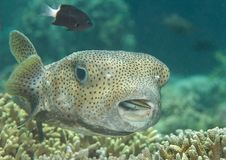Porcupine pufferfish diodon hystrix being cleaned by cleaner fish labroides dimidiatus at cleaning station , Bali, Indonesia Stock Photo