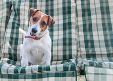 Closeup portrait of adorable dog Jack russell sitting on green blue checkered pads or cushion on Garden bench or sofa outside at s. Unny day. The curious happy stock photo