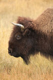 Closeup Portrait of an Adult Buffalo with Autumn Glasslands as a Stock Photo