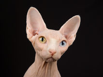 Closeup portrait of adult Sphynx Stock Image