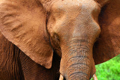 Closeup portrait of African elephant royalty free stock photos