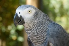 A closeup portrait of the African grey parrot Royalty Free Stock Photos