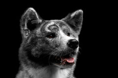Closeup portrait of Akita inu Dog on Isolated Black Background. Closeup portrait of Adorable Akita inu Dog Smiling with tongue on Isolated Black Background Stock Photos