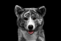 Closeup portrait of Akita inu Dog on Isolated Black Background Royalty Free Stock Photos