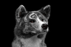 Closeup portrait of Akita inu Dog on Isolated Black Background. Closeup portrait of Akita inu Dog Alertness waiting on Isolated Black Background Royalty Free Stock Photo