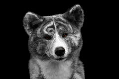 Closeup portrait of Akita inu Dog on Isolated Black Background. Closeup portrait of Curious face Akita inu Dog on Isolated Black Background Royalty Free Stock Photos