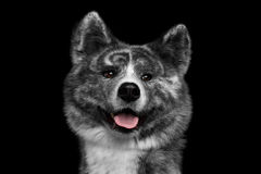 Closeup portrait of Akita inu Dog on Isolated Black Background. Closeup portrait of Curious face Akita inu Dog Smiling on Isolated Black Background Stock Image