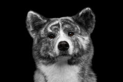 Closeup portrait of Akita inu Dog on Isolated Black Background. Closeup portrait of Serious face Akita inu Dog on Isolated Black Background Stock Photography