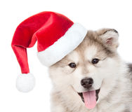 Closeup portrait alaskan malamute puppy dog in red christmas hat Stock Images