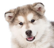 Closeup portrait alaskan malamute puppy dog.  on white Stock Photo